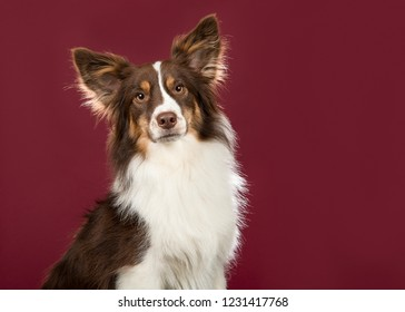 Portrait of miniature american shepherd dog looking at the camera on a deep red background in a horizontal image