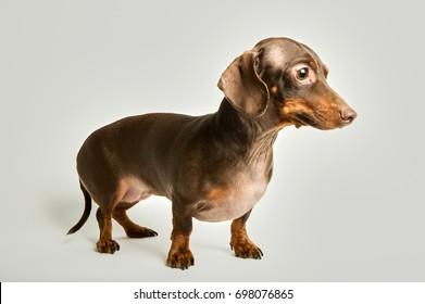 Portrait of miniature dachshund against white background