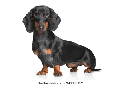 Portrait of a Miniature Dachshund on white background