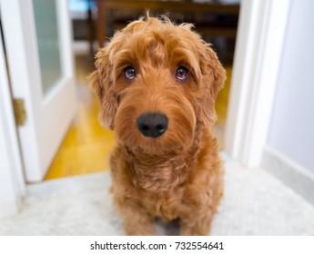 Portrait of miniature goldendoodle indoors