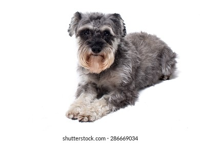 Portrait of Miniature Grey Salt and Pepper Colored Schnauzer Terrier Dog Lying Down on Stomach in front of White Background