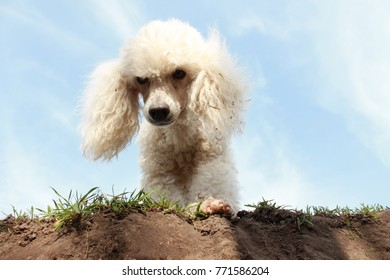 portrait of a miniature poodle close-up against a blue summer sky