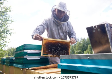 Portrait of modern young beekeeper collecting honey from hive, checking hive frames with bees, copy space