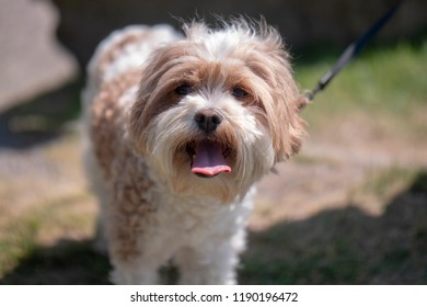 Portrait of Molly: a white and tan Cavapoo