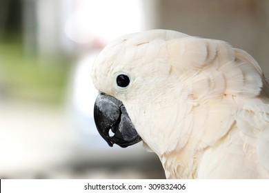 Portrait of moluccan cockatoo