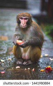 Portrait of the monkey eating apple in the rain
