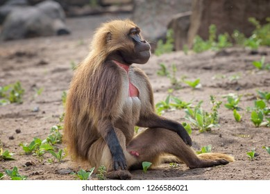 Portrait of monkey gelada, Theropithecus gelada, the bleeding-heart monkey, gelada baboon. Male