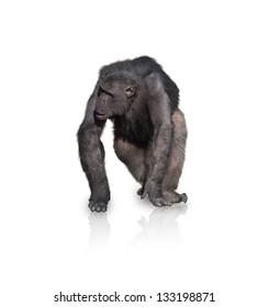 Portrait Of Monkey Isolated On White Background
