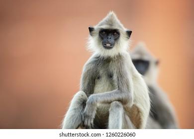 Portrait of monkey, Tufted Gray langur, Semnopithecus priam on ruins of world heritage city of Anuradhapura, staring directly at camera, against reddish Jetavanaramaya stupa, Sri Lanka