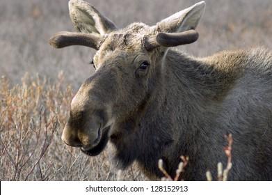 Portrait of a moose with velvet antlers in Alaska