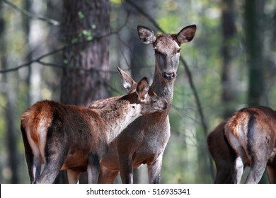Portrait of a mother deer with her cub in the wild forest