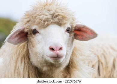 Portrait of mountain sheep farm animals