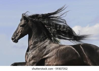 Portrait of moving friesian black horse stallion