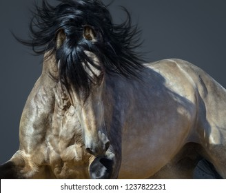 Portrait of moving golden dun Purebred Andalusian horse.