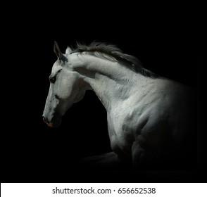 portrait of moving white stallion on black isolated