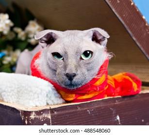 Portrait of naked lop-eared cat breed Ukrainian Levkoy in red scarf