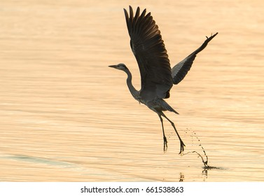 Portrait of natural grey heron