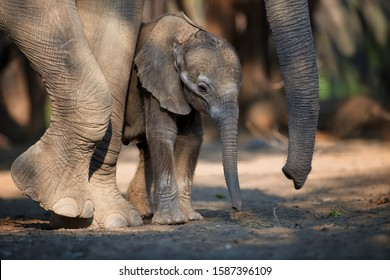 Portrait of new born baby elephant close to huge legs and trunk of its mother. Elephant scene, new born elehant under protection of herd.  African elephant family, side view. Mana Pools, Zimbabwe.