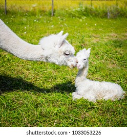 Portrait of a newborn cute baby alpaca and her mother in a green grass field on a sunny summer day.