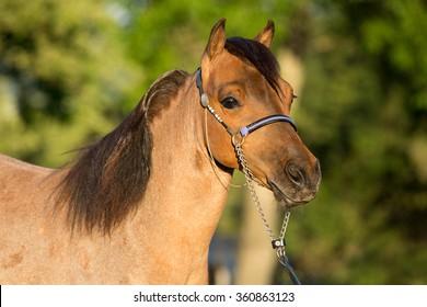 Portrait of a nice American Miniature Horse stallion