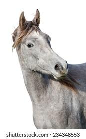 Portrait of nice arabian horse on white background