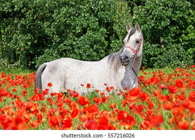 Portrait of nice arabian horse in red poppy field