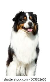 Portrait of nice Australian shepherd dog on white background