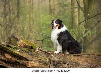 Portrait of nice Australian shepherd dog in the forest