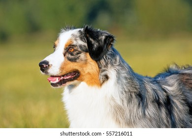 Portrait of nice australian shepherd dog
