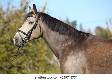 Portrait of nice bay Kinsky horse with bridle in autumn