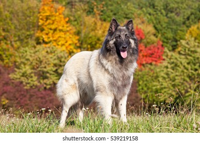 Portrait of nice belgian shepherd dog