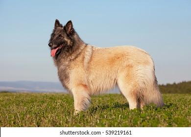 Portrait of nice belgian shepherd dog