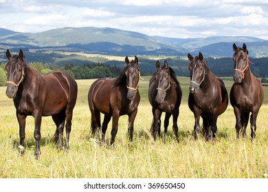 Portrait of nice black kladrubian horses