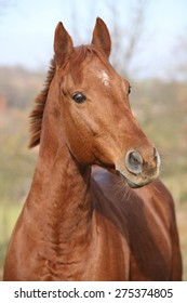 Portrait of nice chestnut horse looking at you