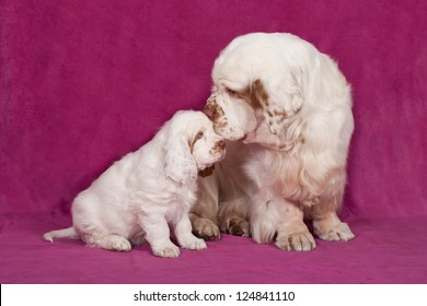Portrait of nice clumber spaniel on pink background