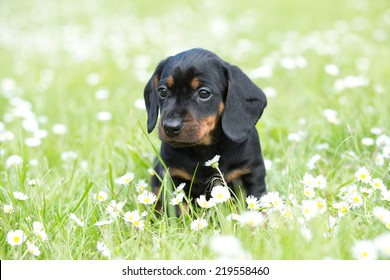 Portrait of a nice Dachshund puppy in the garden