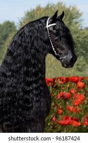 Portrait of a nice Friesian horse