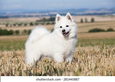 Portrait of nice german spitz