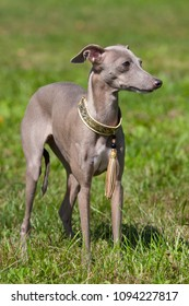 Portrait of nice Italian Greyhound