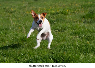 Portrait of nice jumping Jack Russell terrier on meadow