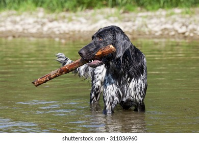 Portrait of nice large munsterlander dog on water