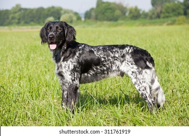 Portrait of nice large munsterlander dog