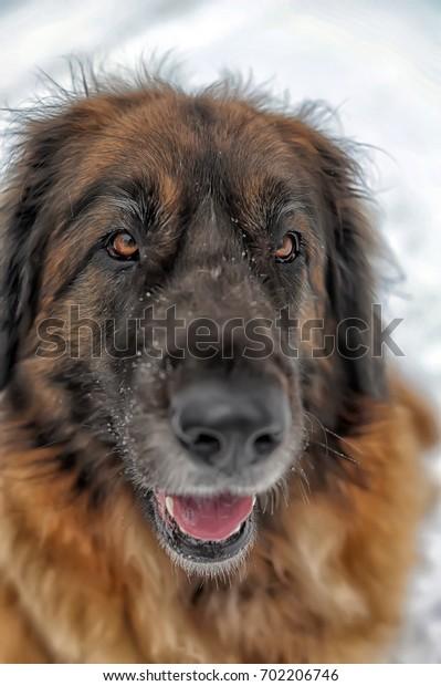 Portrait of a nice Leonberger