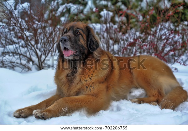Portrait of a nice Leonberger laying on the snow