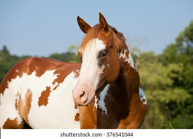 Portrait of nice paint horse