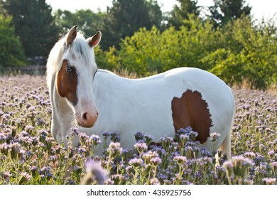 Portrait of nice paint horse on meadow violet flowers