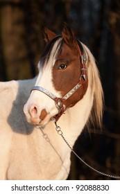 Portrait of a nice Paint horse stallion
