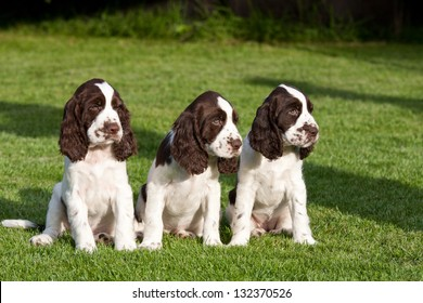 Portrait of nice puppies - english springer spaniel