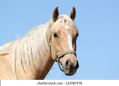 Portrait of a nice Quarter horse