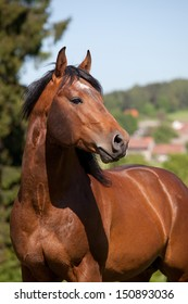 Portrait of nice quarter horse